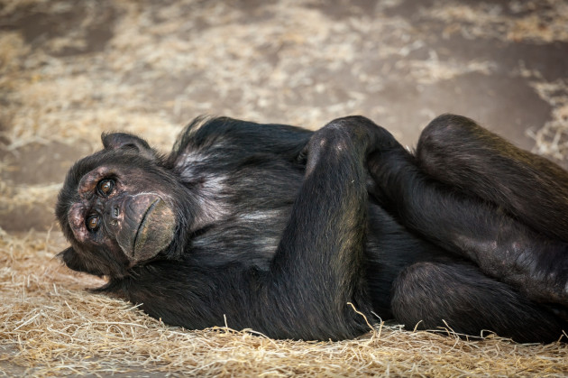 Chimpanzees in Antwerp ZOO / Jonas Verhulst