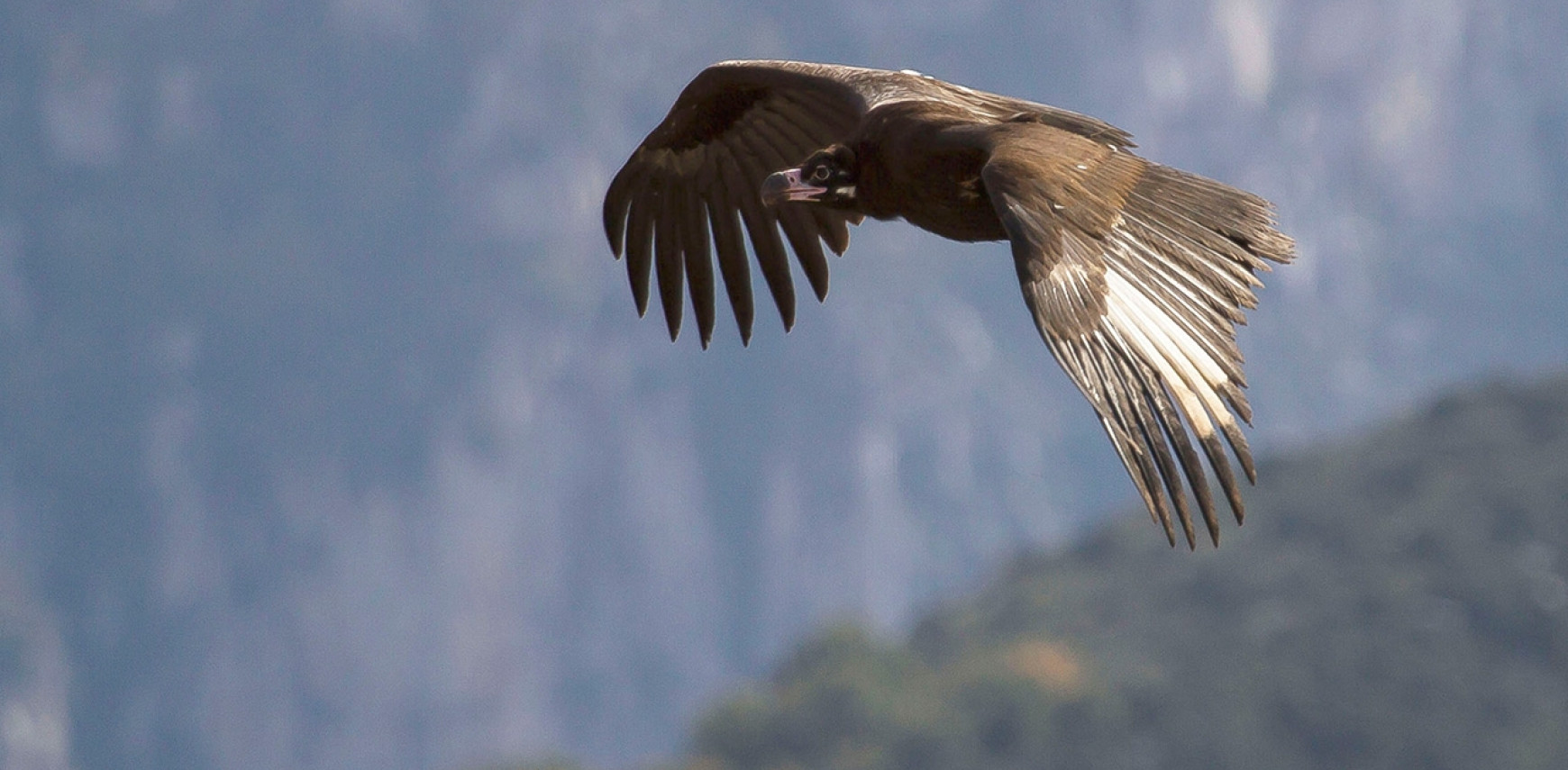 Vultures… Making a comeback