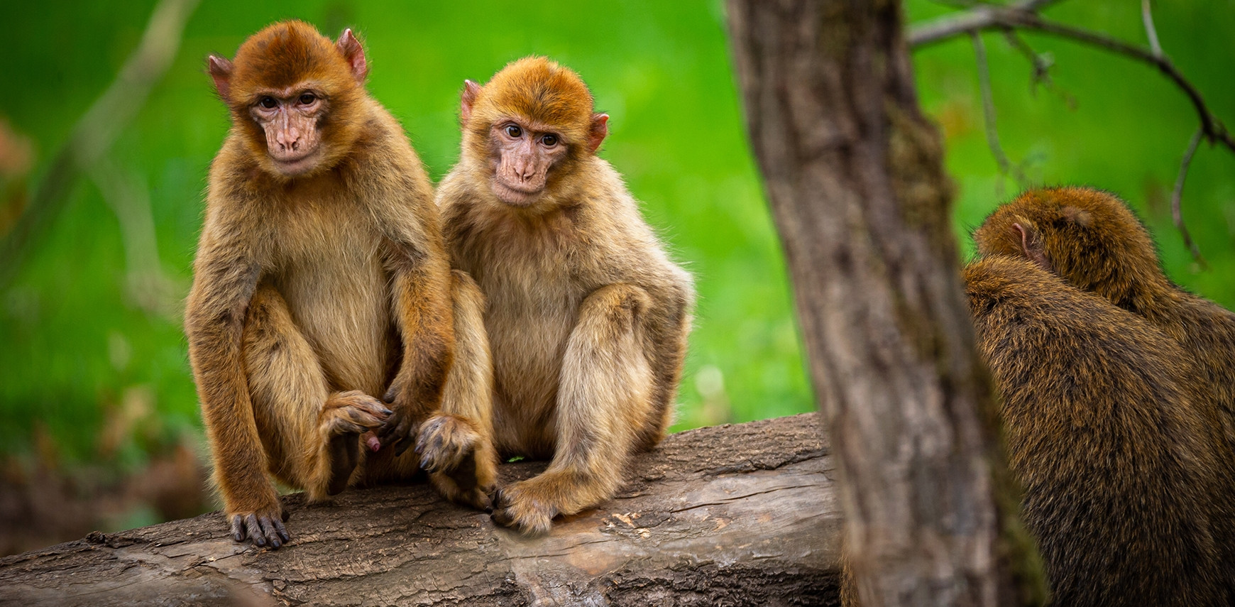 HAPPY BARBARY MACAQUES